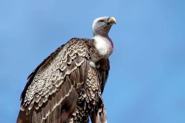 Vulture in Africa
