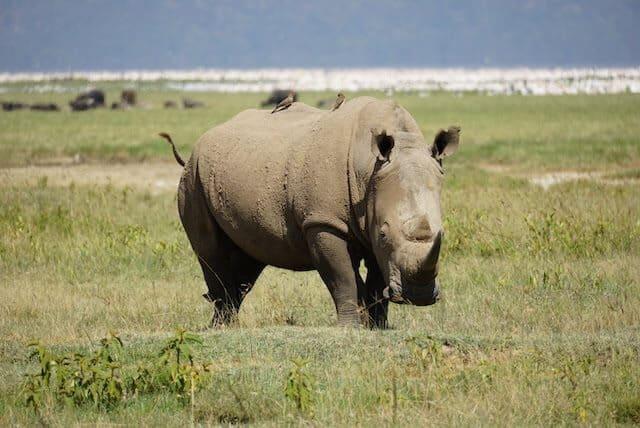 White Rhino in Lake Nakuru National Park