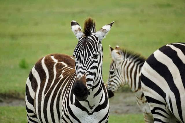 Zebras in Ngoronogoro Crater