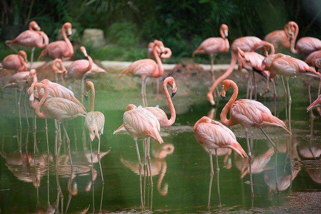 Pink flamingos standing on a green lake
