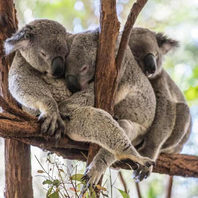 Three Koalas snuggling on a branch
