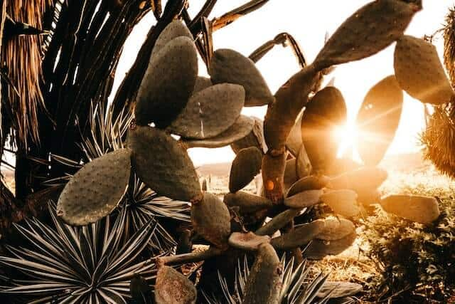 Sunset through cacti leaves in Desert Botanical Garden Phoenix Arizona