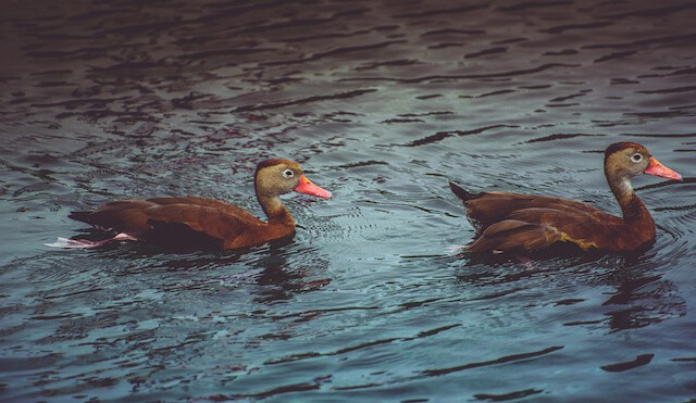 Two Black Bellied Whistling Ducks with orange bills on the water in El Paso, Texas