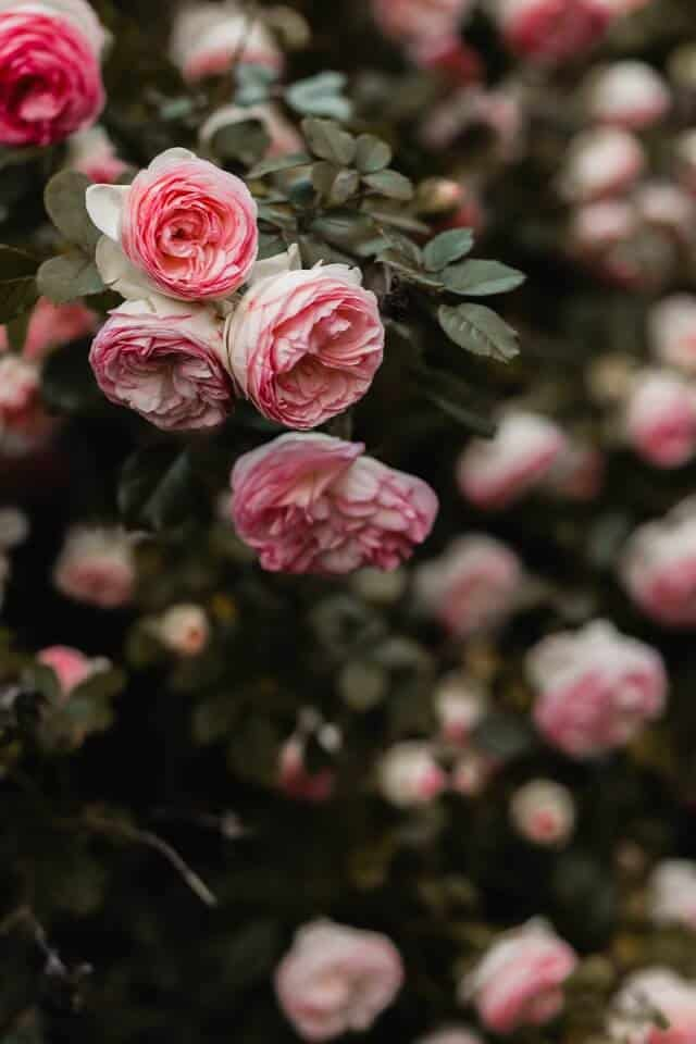 Bush of roses with 4 roses in focus at the front of the image