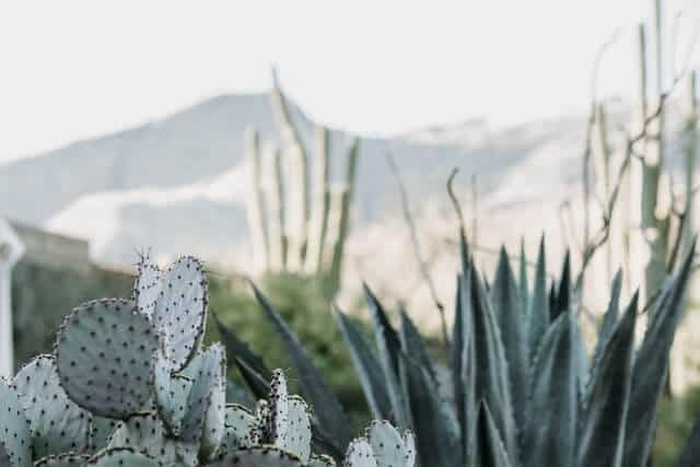 Small cacti in focus in the foreground with El Paso mountains in the background