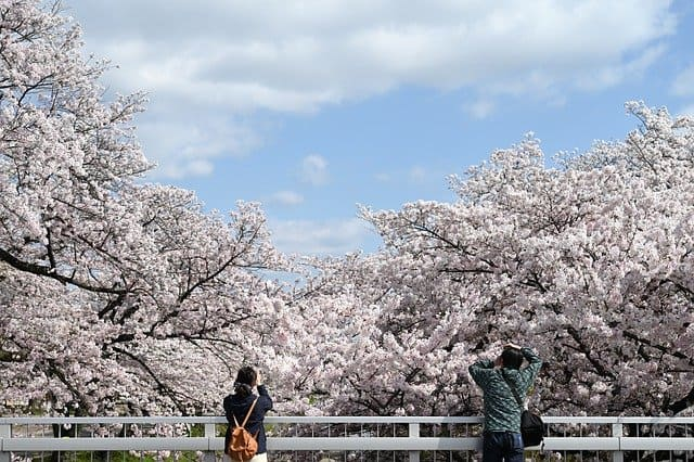 Two people stood on a bridge photographing the cerry blossom flowering behind