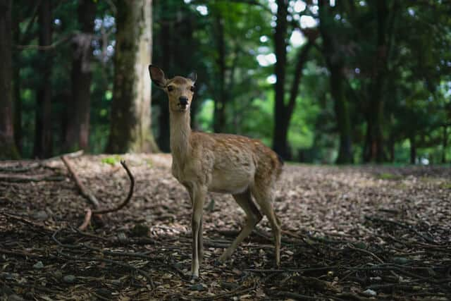 Deer standing in the forest at Nara Deer Park