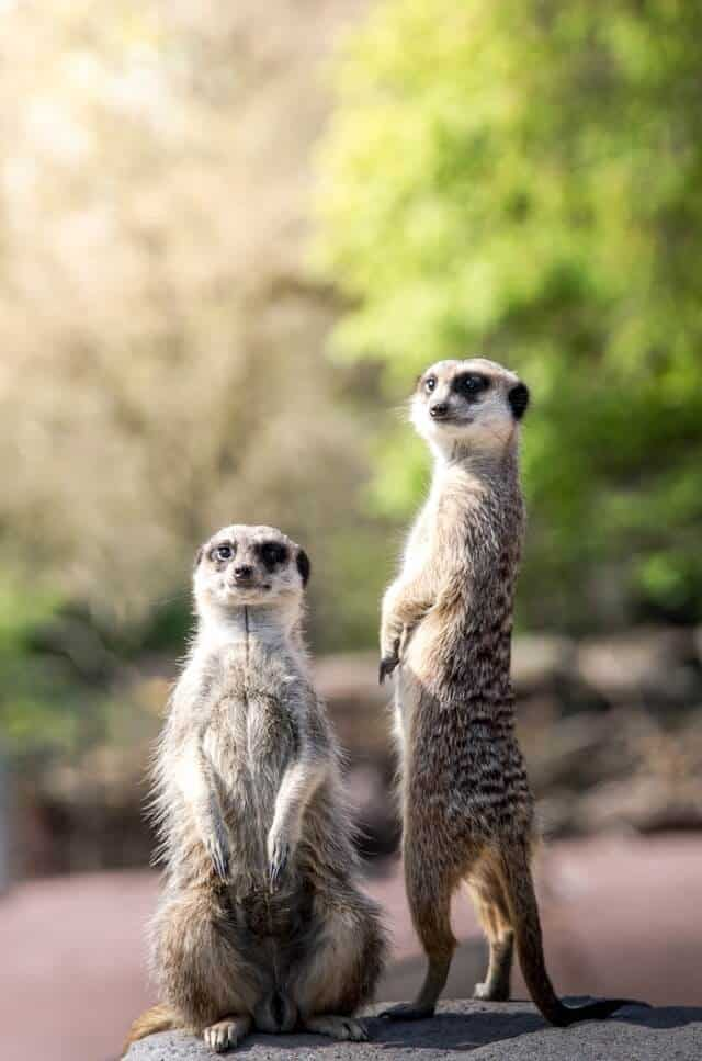 Two Meerkats standing on thier back legs in a woodland like enclosure