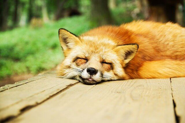 Fox asleep on a wooden bench in a park