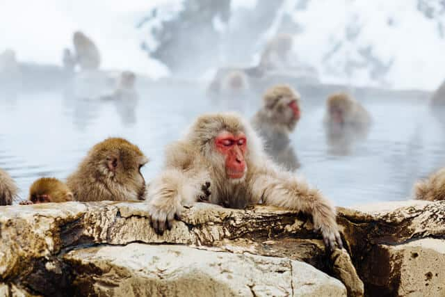 Red faced moneys with brown fur soaking in an onsen surrounded by snow