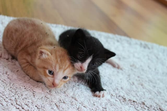 Two kittens on a white rug on a wooden floor at a cat cafe