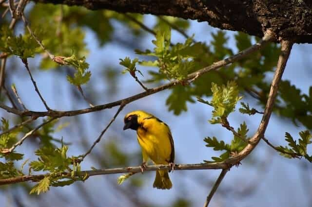 Bright yellow weaver bird sitting on a branch in focus surrounded by light green leaves