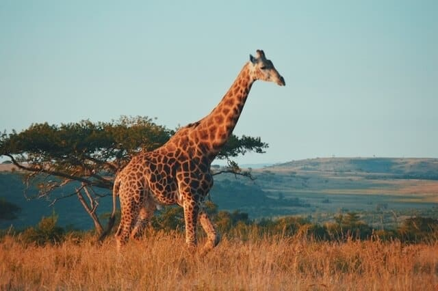 Giraffe walking through yellow grasses to knee height with an acacia tree in the background