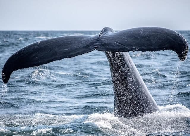 Close up shot of a large whale tale about to slap on to the ocean