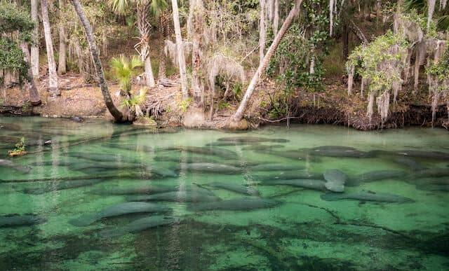 Manatees under green water at Blue Springs State Park