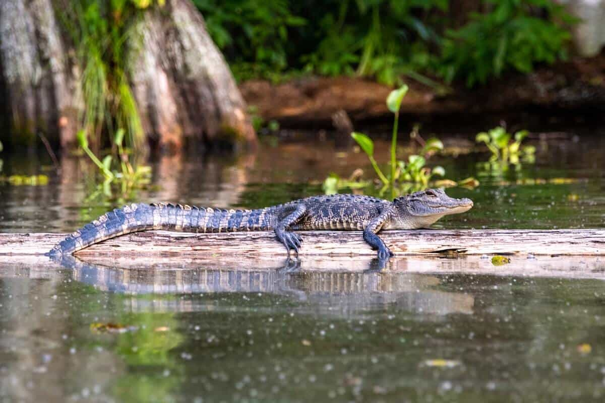 Day Trips from New Orleans Weekend Getaways header image of a baby aligator laying on a log in the bayou