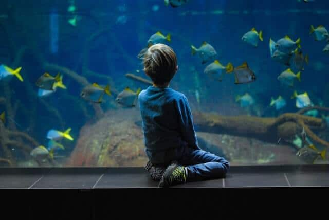 Child sitting on the side of an aquarium looking at the tropical fish swimming inside