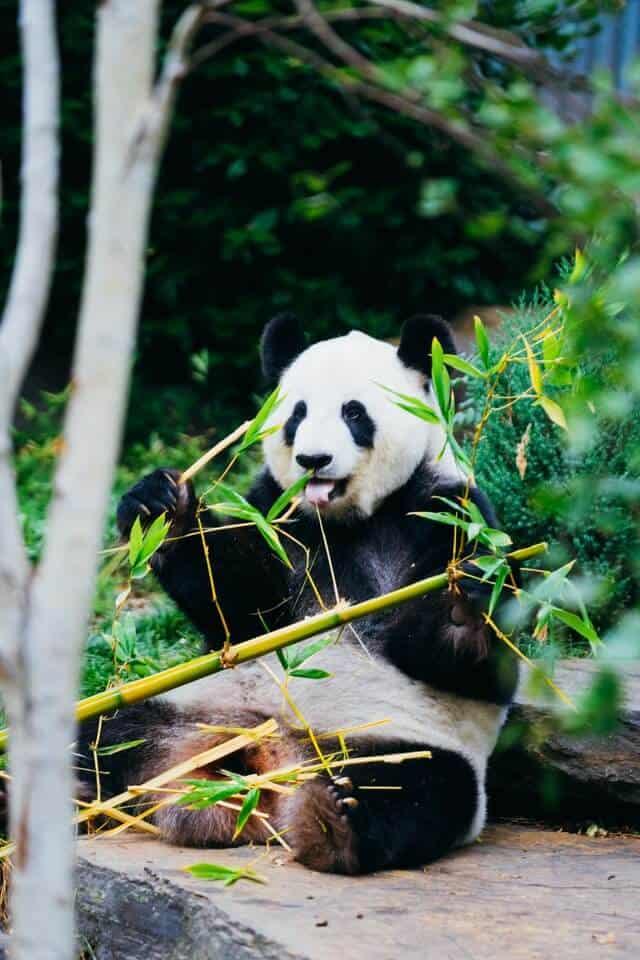 Panda eating bamboo at the National Zoo